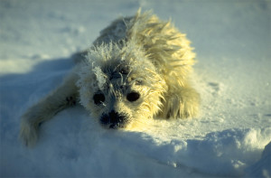 Hjelp dyrene i Arktis