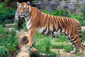 La oss redde tigerne