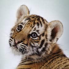 Rädda tigrarna, innan det är för sent!