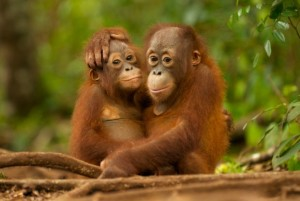 Vi vill rädda orangutangerna
