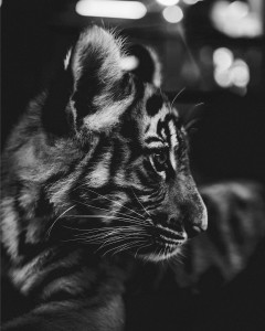 NextBrands UF Rädda Tigrarna