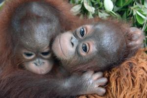 Rädda orangutangerna