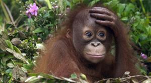 Tyras insamling för orangutanger