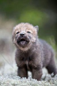 La ulven leve!