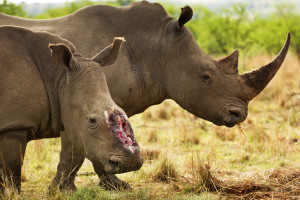 Hjälp oss rädda noshörningarna från tjuvjakt!
