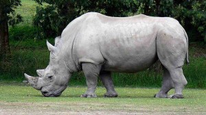 IESS Student Council - Save the Rhinos!