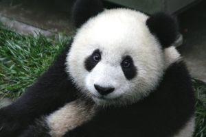 Rädda pandorna