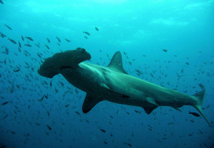 Skapaskolans sjuor räddar hajar