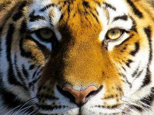 Theas insamling till tigrarna!