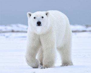 Pelasta jääkarhut sukupuutolta!