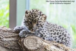 Rädda amurleoparderna