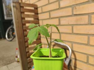 Tomatplantor för regnskogen