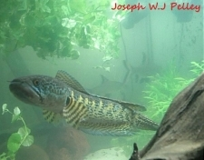 Small1360912768 orange 20spotted 20snakehead joseph