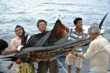 Small1361684890 indo pasific sailfish