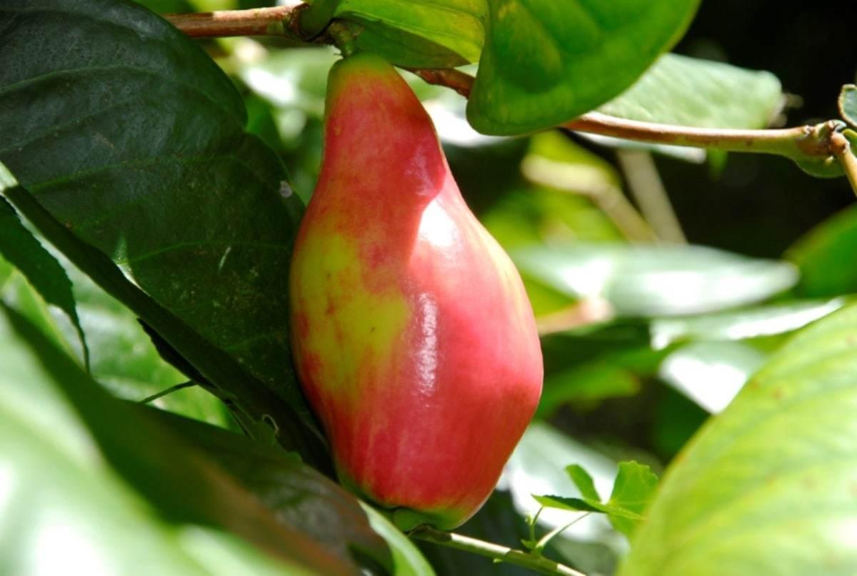Waimea valley bunchosia armeniaca peanut butter fruit izmirmasajfo