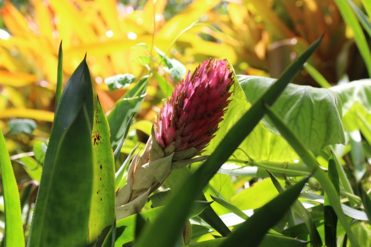 Waimea valley quesnelia testudo izmirmasajfo