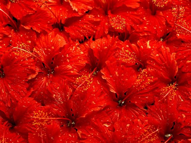 червоні гібіскуси