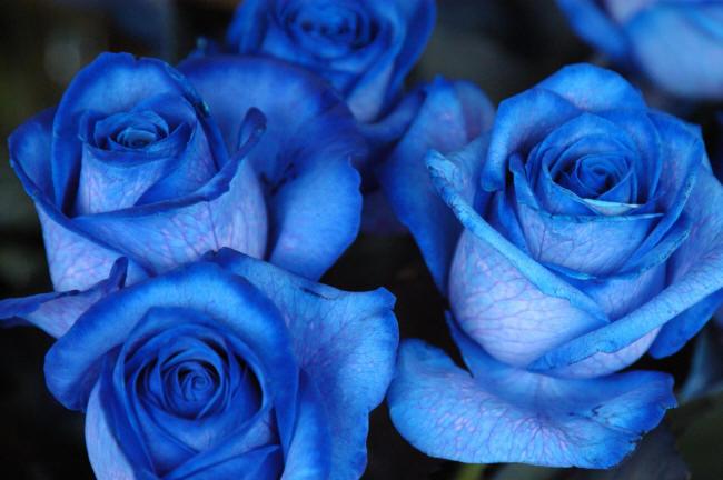 фотографія синіх троянд