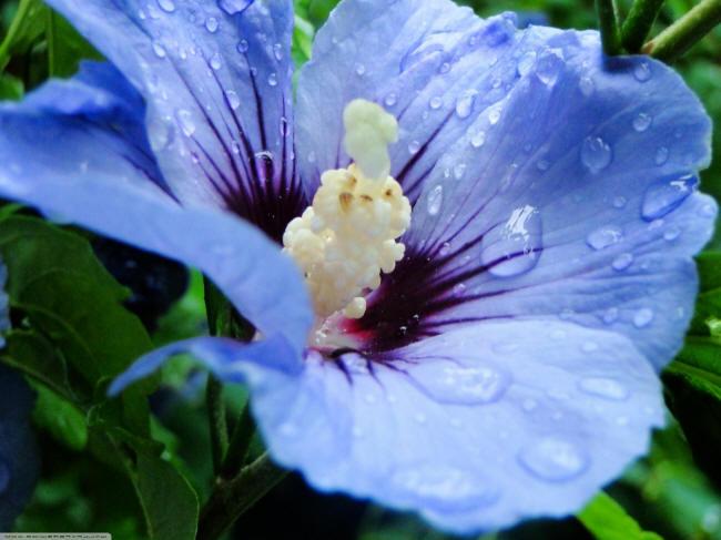 синій гібіскус