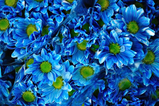 сині хризантеми