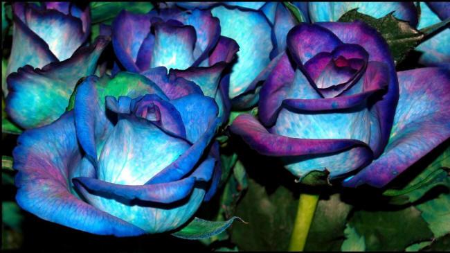 сині троянди