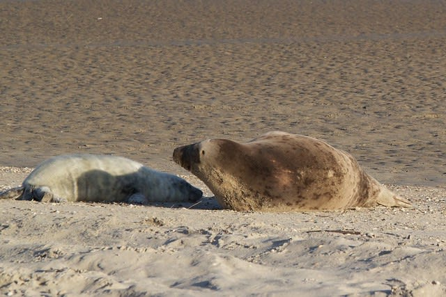 What to do on Vlieland? Seal watching!