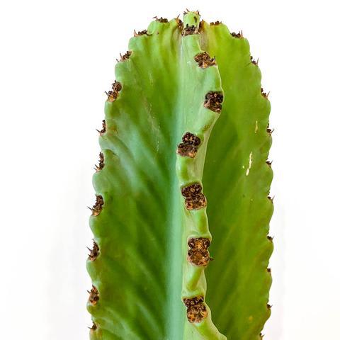 Plant - Euphorbia Ingens