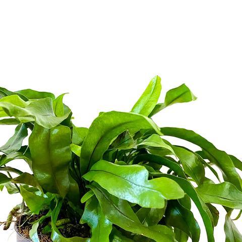 Plant - Kangaroo Fern