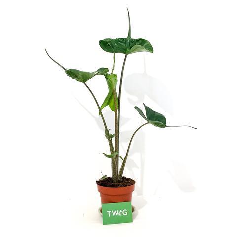 Plant - Alocasia Stingray
