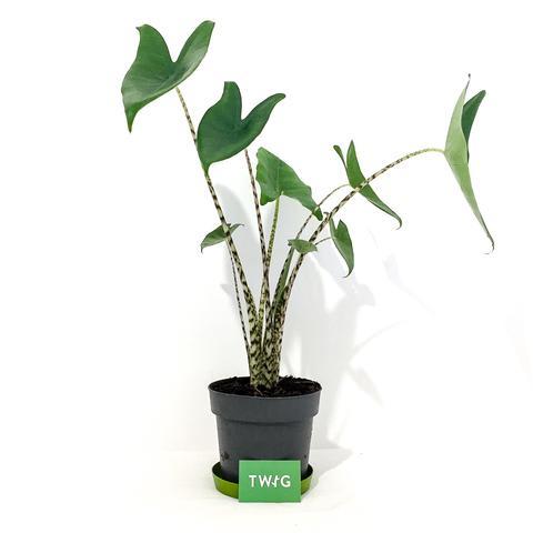Plant - Alocasia Zebrina