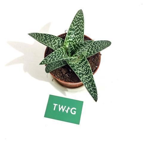 Plant - Aloe Variegata 'Magic'