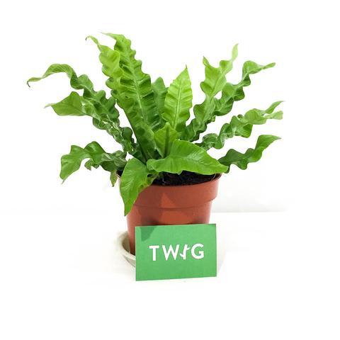 Plant - Crispy Wave Fern