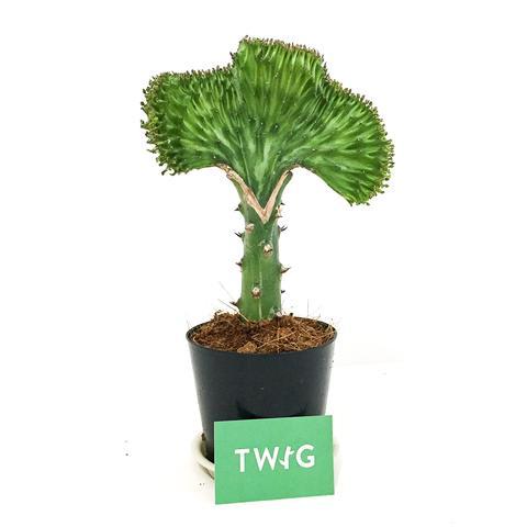 Plant - Coral Cactus