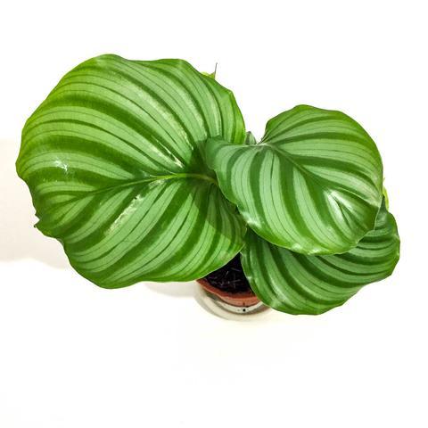 Plant - Calathea Orbifolia