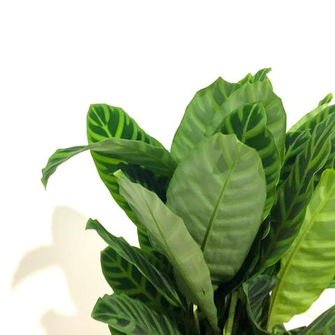 Plant - Calathea Zebrina