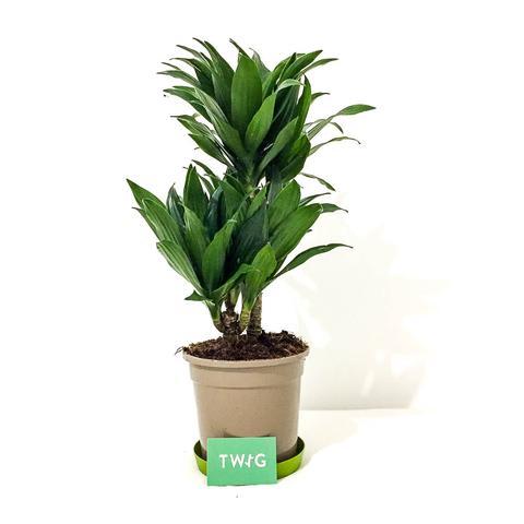 Plant - Dracaena Compacta