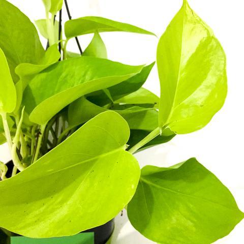 Plant - Golden Pothos