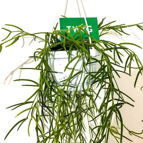 Plant - Hoya Linearis