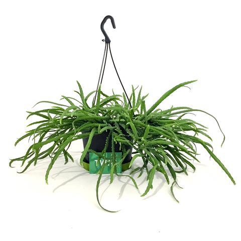 Plant - Lepisium Bolivianum
