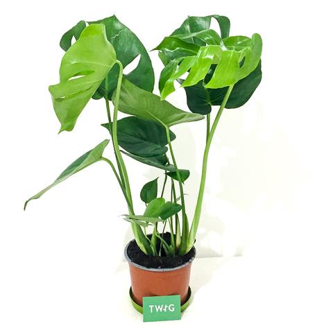 Plant - Swiss Cheese Plant