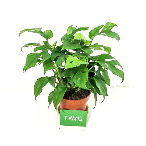 Plant - Monstera Minima