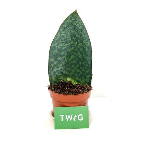 Plant - Sanservieria 'Whale Fin'