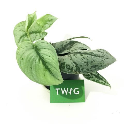 Plant - Scindapsus Pictus Trebie