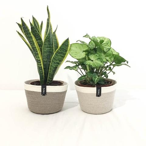 Twig Plants and Pots - Ivory concrete indoor plant pot
