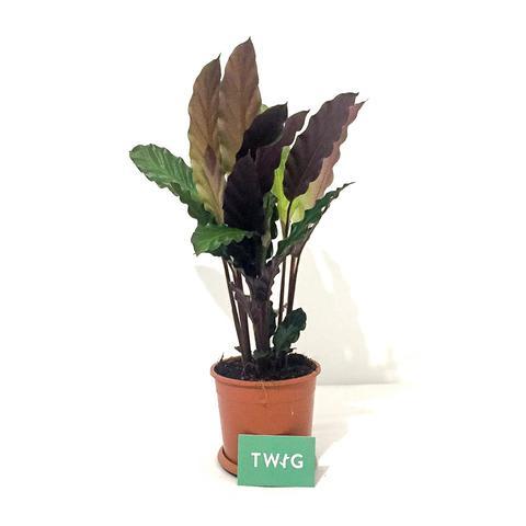 Plant - Calathea Rufibarba