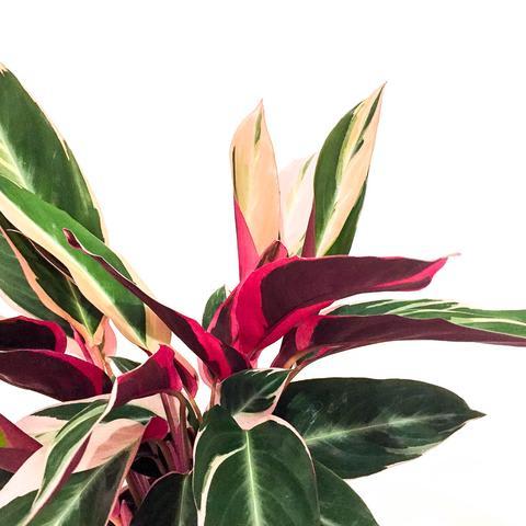 Plant - Calathea Triostar