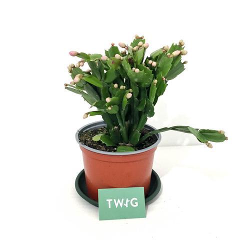 Plant - Christmas Cactus