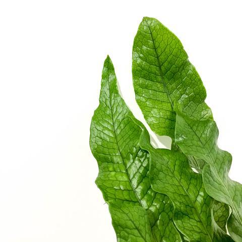 Plant - Crocodile Fern