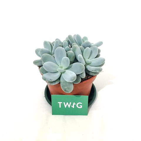 Plant - Pebble Plant