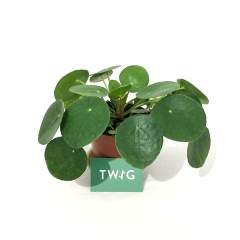 Plant - Chinese Money Plant